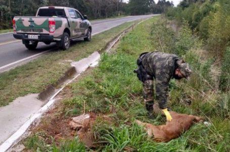Onça parda é encontrada morta em Porto União