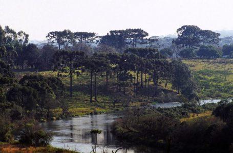 Ameaçadas de extinção, 4 mil araucárias estão sendo derrubadas por obra no Paraná