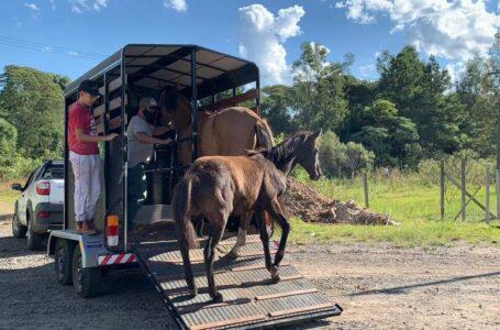 União da Vitória realiza operação para apreensão de animais soltos em via pública
