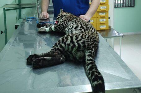 Jaguatirica ferida é resgatada na BR-277 em Palmeira