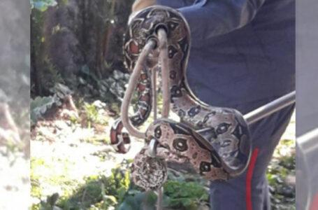Jiboia com mais de 1 metro de comprimento é encontrada em quintal de casa em Porto União