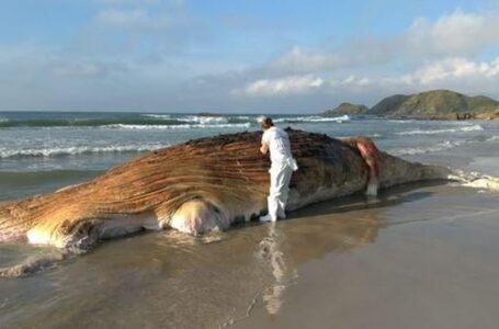Baleia jubarte de 13 metros é encontrada morta na Ilha do Mel
