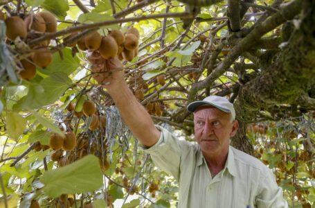 Campeão de produtividade, kiwi de Antônio Olinto ganha o Brasil