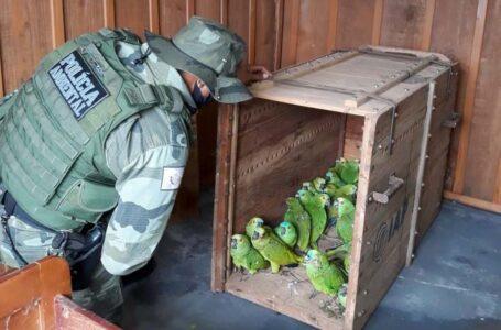 Papagaios resgatados após tempestade no Paraná são soltos na natureza