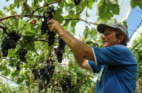Programa vai incentivar produção da polpa e suco de uva em São João do Triunfo