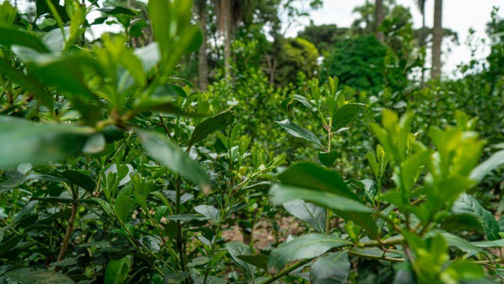 350 toneladas de erva-mate em folha são leiloadas em Três Barras