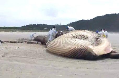 Baleia rara de quase 20 metros é encontrada morta no Litoral do Paraná